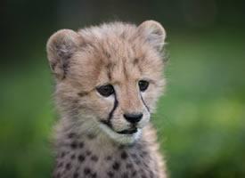 一组超级可爱的小豹子图片