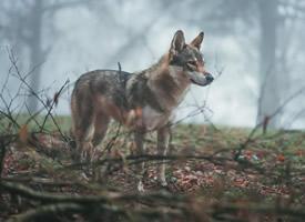 一组长相清秀的野狼图片欣赏
