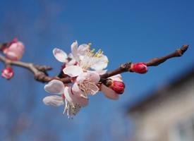 高洁坚强的粉色梅花图片