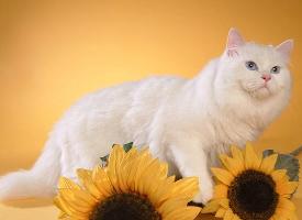 举止优雅的波斯猫图片