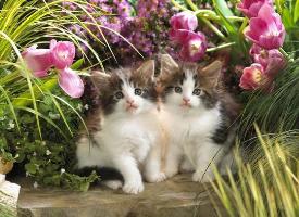 高贵的波斯猫图片