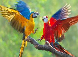 羽毛艳丽的鹦鹉图片