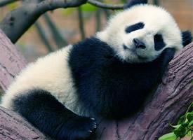 超可爱软萌大熊猫图片手机壁纸
