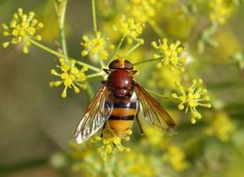 正在花丛中采蜜的蜜蜂图片