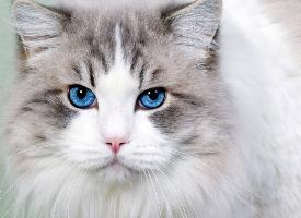 一组优雅的波斯猫图片