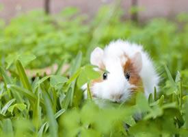 精选一组萌宠荷兰猪图片