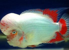胖乎乎的罗汉鱼图片