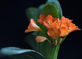 美丽的细叶君子兰开花图片