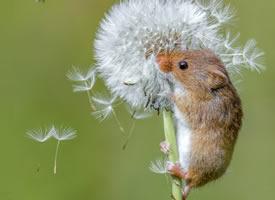 喜欢蒲公英的小老鼠图片