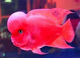 色彩丰富多变的罗汉鱼图片