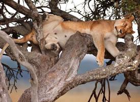 一组狮子销魂的睡姿图片