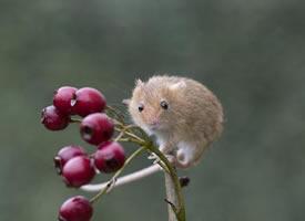 超可爱呆萌的小老鼠特写图片
