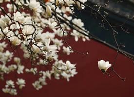 一组美美的清凉寺·白玉兰