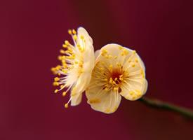 盛开的梅花高清桌面壁纸