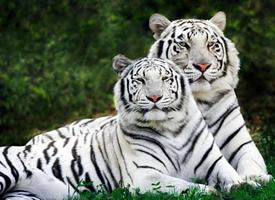 雄壮矫捷的孟加拉虎图片