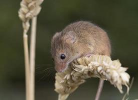 喜欢吃小麦的小老鼠图片