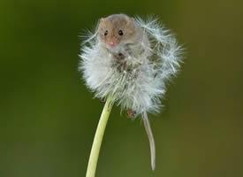 在蒲公英上嬉戏的小老鼠