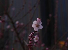 一组美美的桃花开图片