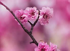 唯美桃花摄影高清桌面壁纸