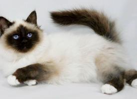 一组珍贵的暹罗猫图片