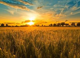 金黄色的麦田风光图片
