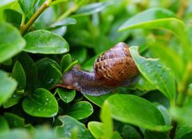 慢吞吞爬行的动物蜗牛高清图片