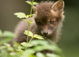 一只小狐狸图片欣赏