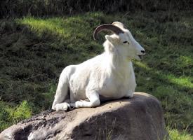 一组温顺可爱的山羊图片