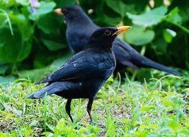 灵活小巧的八哥鸟