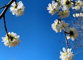 一组阳光明媚下的樱花图片
