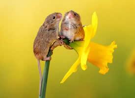 喜欢春天花朵的小老鼠图片
