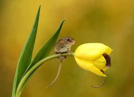 喜欢跑到花朵里的小老鼠
