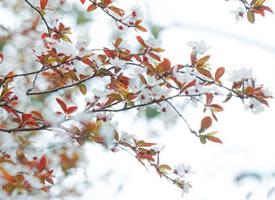 一组香香的樱花图片欣赏