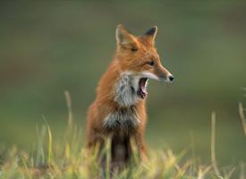 濒危动物野生红狐狸图片