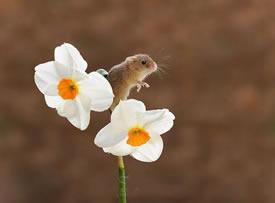 春天里开心的小老鼠图片