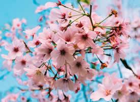 浪漫樱花养眼高清桌面壁纸