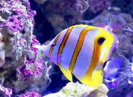 多彩好看的蝴蝶鱼图片