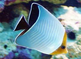 一组漂亮的蝴蝶鱼图片