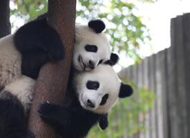 两只可爱的大熊猫上树图片
