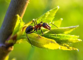 一组勤劳的蚂蚁图片欣赏