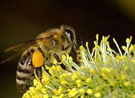 辛勤的小蜜蜂采蜜图片欣赏