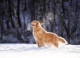一组雪地里活跃的金毛图片欣赏