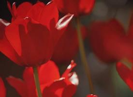 一组火红色的郁金香图片欣赏