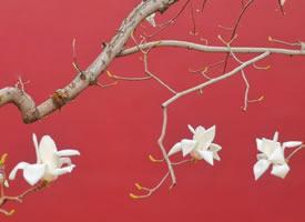 一组淡淡清香的玉兰花图片
