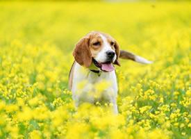 油菜花中精力旺盛的比格犬狗狗