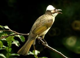 白头鹎是农村益鸟之一