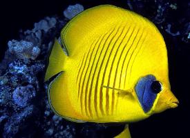 个体较小的蝴蝶鱼图片