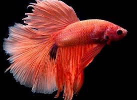 绚丽缤纷的泰国斗鱼