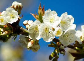 纯洁唯美的白色樱花风景桌面壁纸