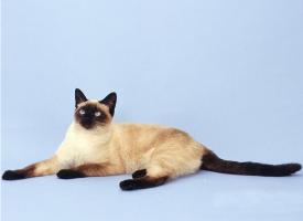 一组温柔的暹罗猫图片